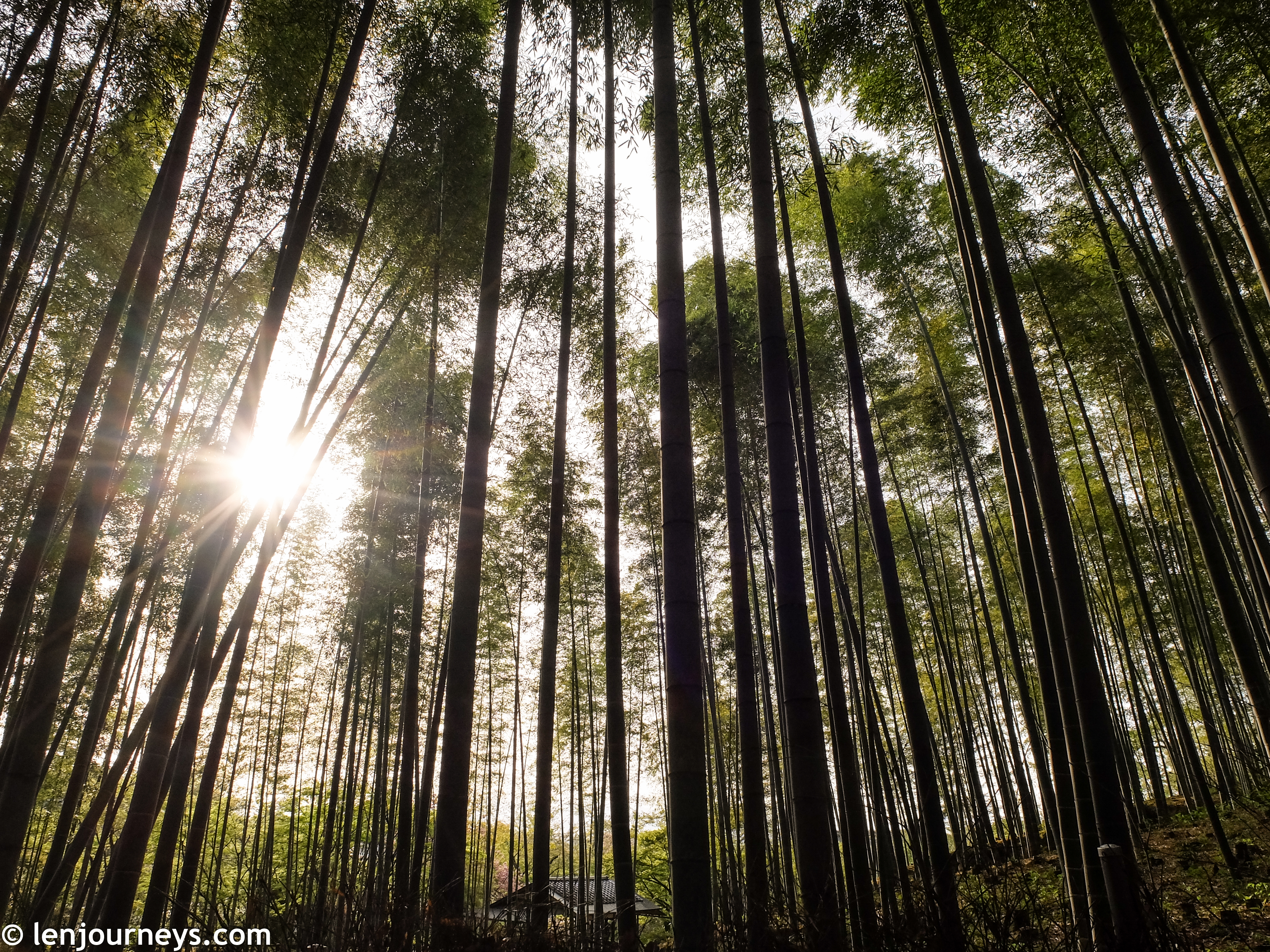 Bamboo groves in the early morning
