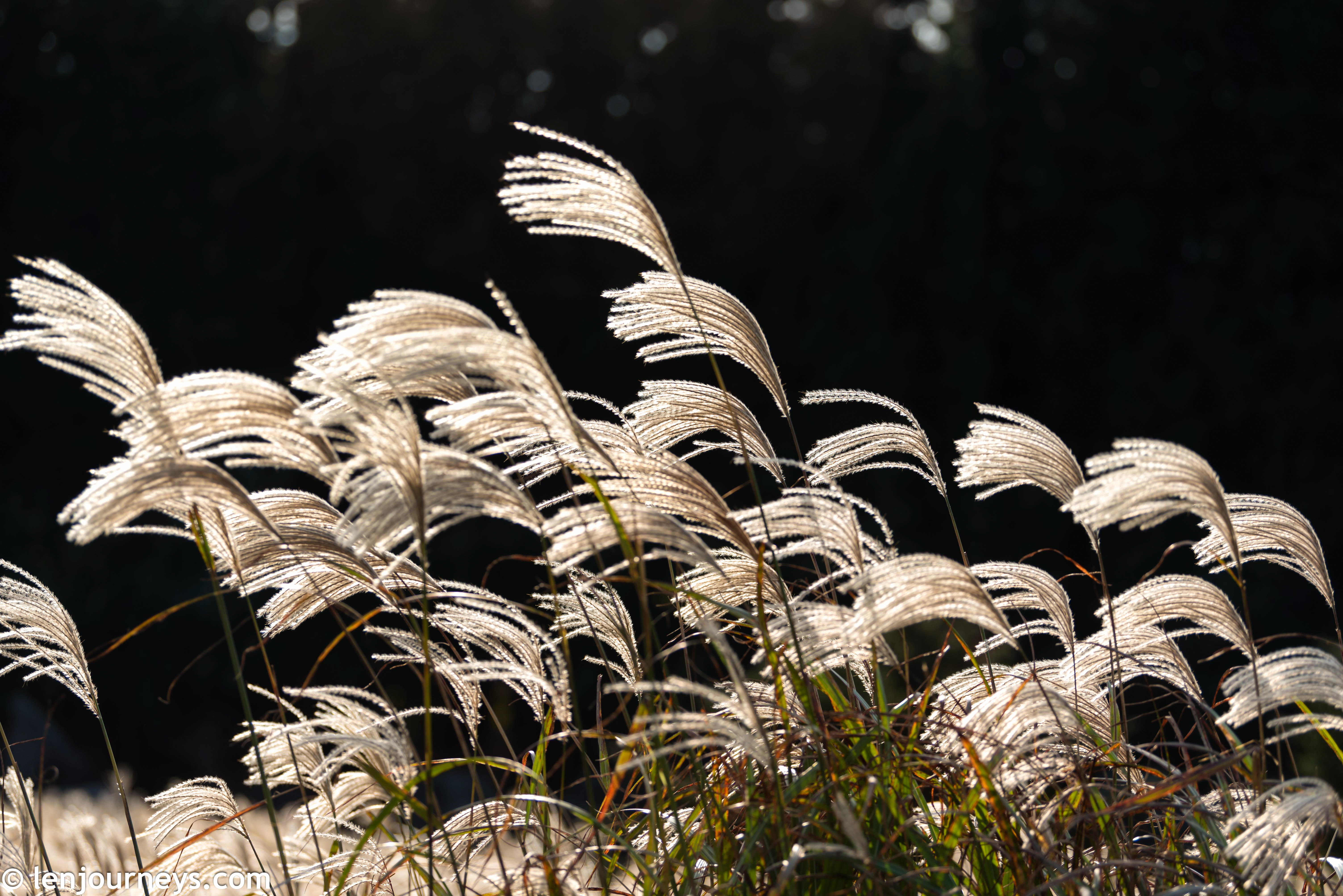 Silver grass in Sagumburi