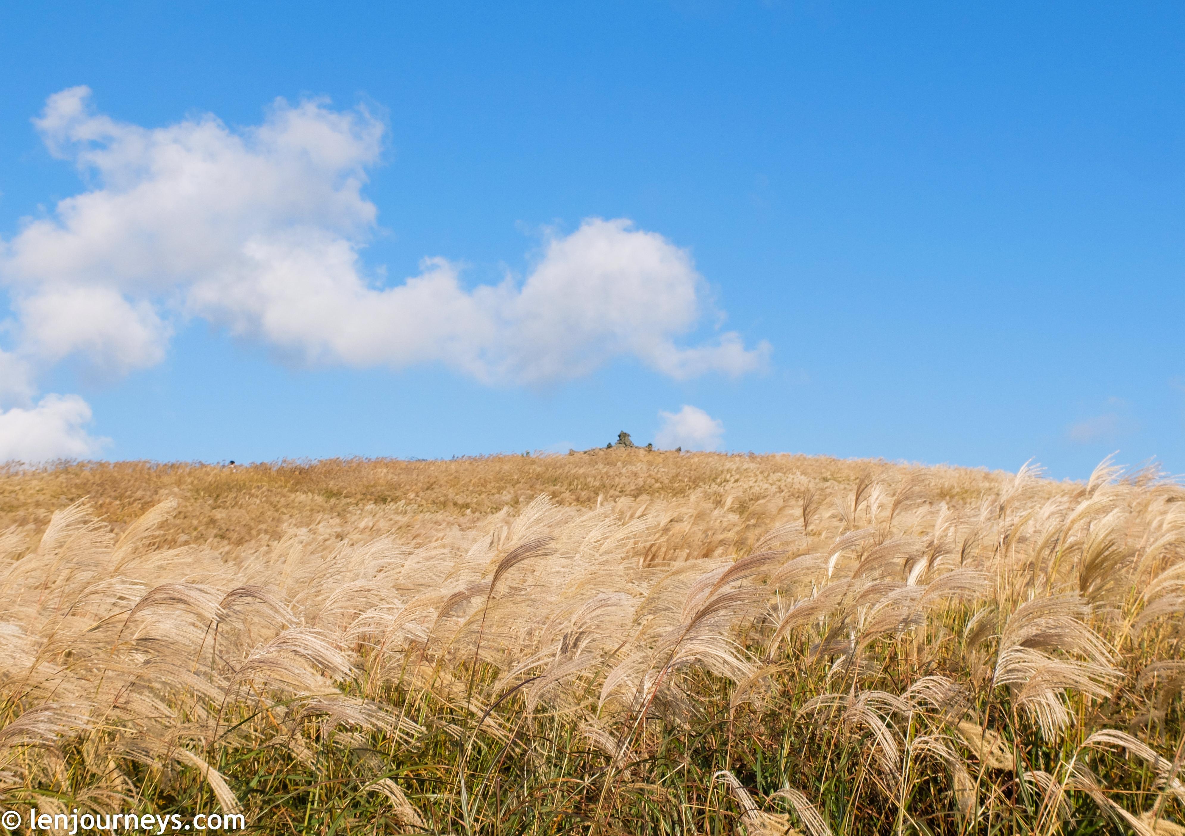 Sea of silver grass