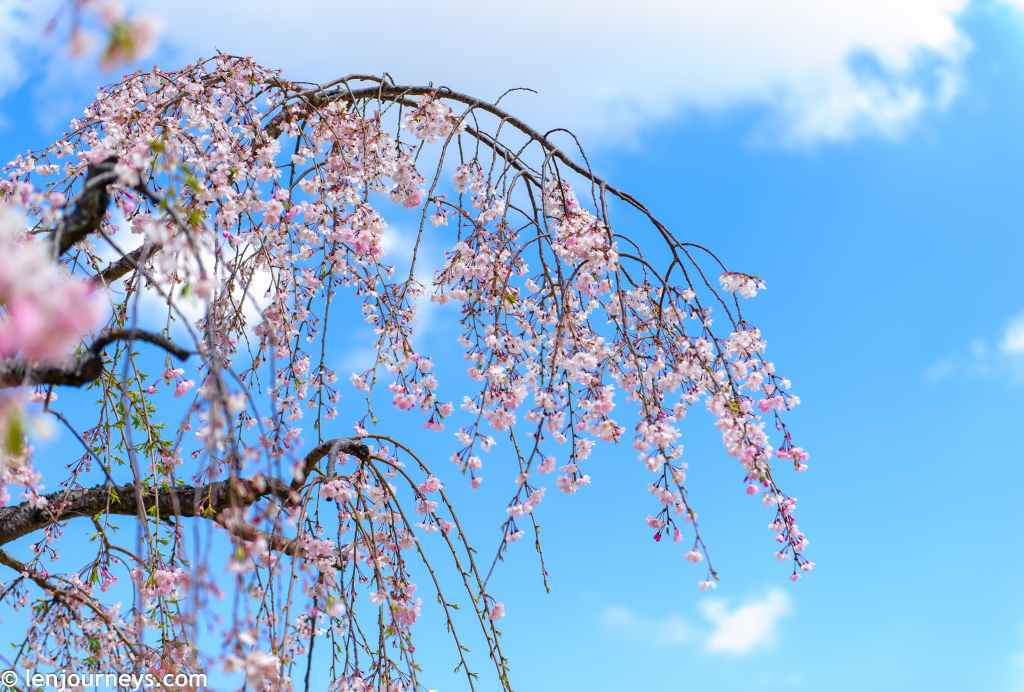 Cherry blossoms in Himeji Castle