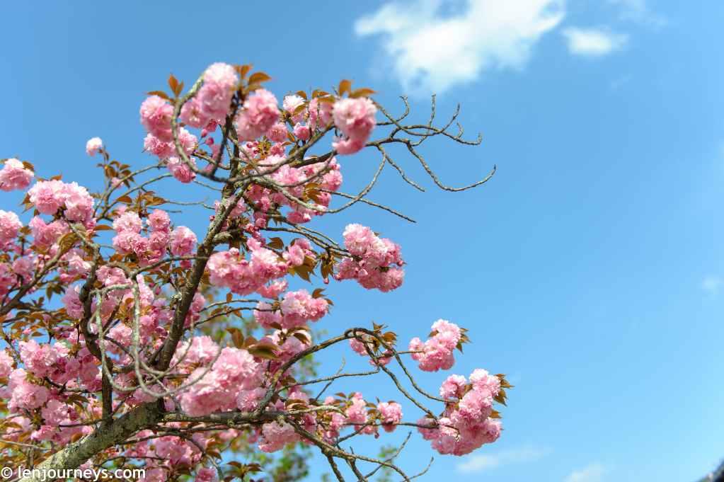 Cherry blossoms in Miyajima
